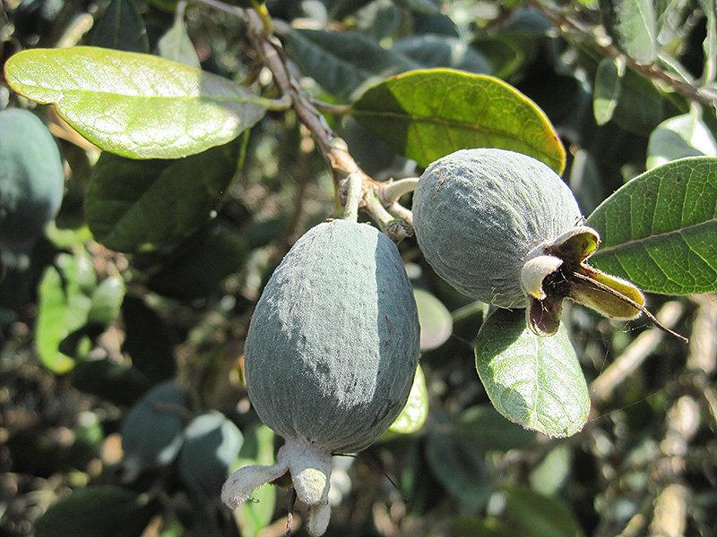 Pineapple Guava/Fieoja Tree