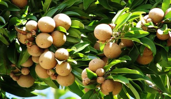 Grafted Sapodilla Fruit Tree