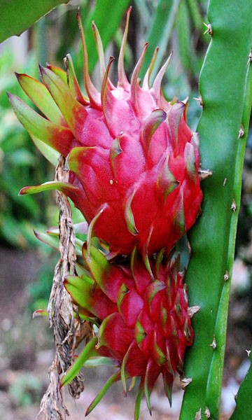 Dragon Fruit Plant Red Variety