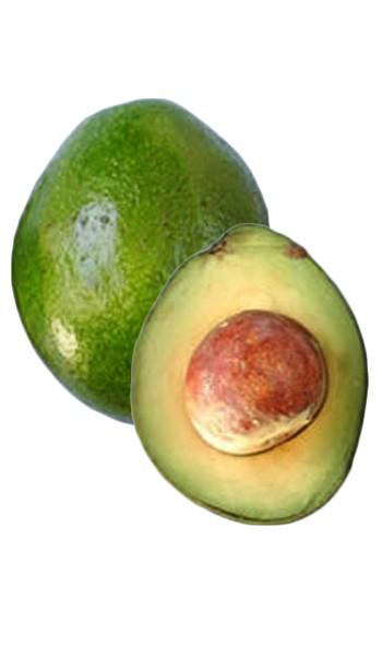 Avocado Tree Monroe Variety Grafted