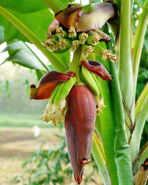 Banana Plant Icecream Variety
