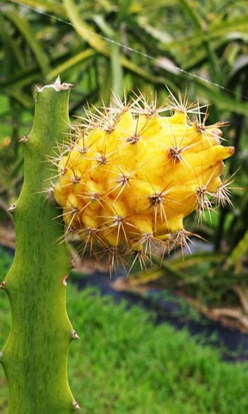Golden dragon fruit tree golden dragon nj