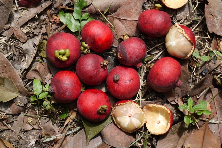 mangosteen fruit fruit press