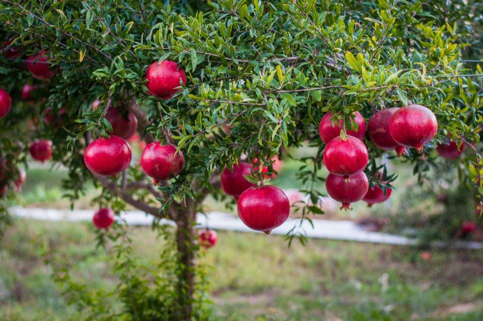 POMEGRANATE BUSH SEEDS PUNICA GRANATUM NANA FRUIT FLOWERING SHRUB 50 SEED PACK