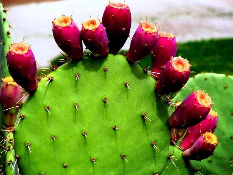 Prickly Pear Tuna Plant