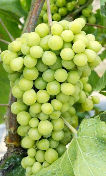 Grape Vine Lake Emerald Gem Green Variety