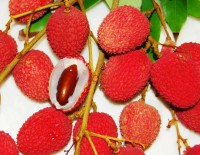 Lychee Tree Brewster Variety Air-Layered