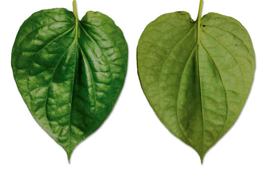 """2 pots 12/"""" EACH Paan Piper Betel Betle Plant  Herb Vine Spice Medicinal Uses"""