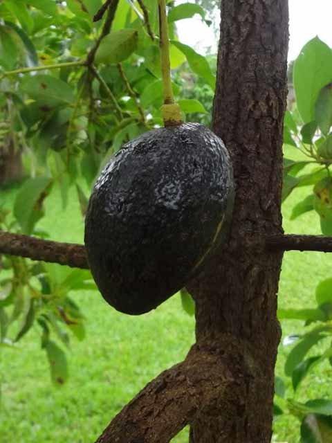 avocado tree live aguacate fruit