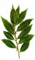 Bay Leaf/Bay Laurel Tree