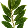 Bay Leaf Spice